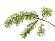 Isolated on white pine tree branch Stock Photography