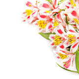 Isolated on white pink flowers Alstroemeria Royalty Free Stock Photos