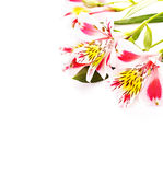 Isolated on white pink flowers Alstroemeria Stock Images