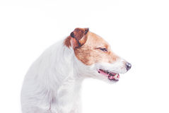 Isolated on white portrait of Jack Russell Terrier dog (profile). Nice curve of body and neck Stock Images
