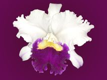 Isolated White and Purple Cattleya orchid with purple background. Great for bathroom wall art ideas royalty free stock photo