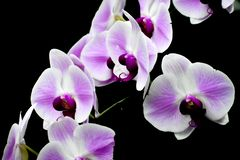 Isolated White and Purple Orchid Flowers, Black Background stock photos