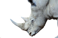 Isolated White Rhinoceros Stock Photography