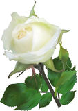 Isolated white rose with small bud Royalty Free Stock Images