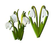 Isolated white snowdrops with shadow on white background.  Stock Photography