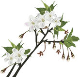 Isolated white spring tree blossoming branch Royalty Free Stock Images