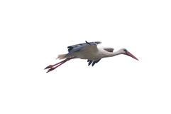 Isolated white stork. stock photo