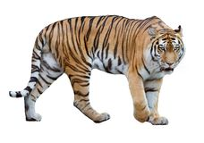 Isolated on white striped large tiger. Large tiger isolated on white background royalty free stock photo
