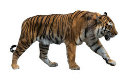 Isolated on white striped tiger. Large tiger isolated on white background stock photos