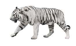 Isolated white striped tiger stock photo