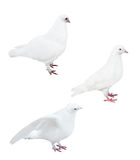 Isolated on white three pigeons Stock Photography