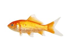 Isolated White Tip Gold Fish. On a blank background Royalty Free Stock Photo