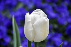 Isolated white tulip on blurred bed of blue pansies flowers, contrast of blue and white.  Stock Image