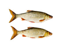 Isolated on white two roach fishes Stock Photography