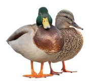 Isolated on white two standing mallard ducks. Standing mallard ducks isolated on white background Royalty Free Stock Photography