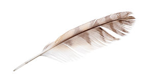 Isolated on white variegated falcon feather Stock Photography