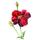 The isolated on white wild red rose with buds Stock Images