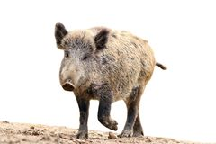 Isolated wild boar Royalty Free Stock Photo