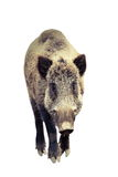 Isolated wild boar full length Stock Photography