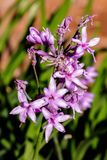 Wild garlic purple flower royalty free stock image
