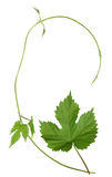 Isolated wild hops shoot. And leaf, background Stock Photos