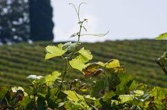 Isolated wineyard leafs Stock Photos