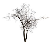 Isolated winter twin bare tree Royalty Free Stock Photography