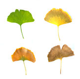 Isolated withered and fresh ginko leaf. Four season leaves of ginko biloba put on the background Stock Photo