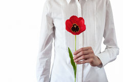 Isolated women in white classic shirt  keeps red tulip in her hand Royalty Free Stock Photos