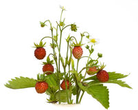 Isolated wood wild strawberry Royalty Free Stock Photography