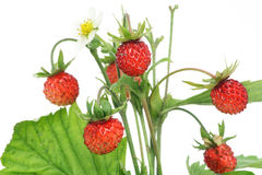 Isolated wood wild strawberry macro Royalty Free Stock Photo