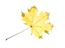 Isolated yellow autumn maple leaf Royalty Free Stock Images