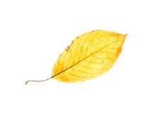 Isolated yellow beech leaf Royalty Free Stock Photography