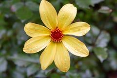 Isolated yellow daisy after rain Royalty Free Stock Photos