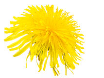 Isolated yellow dandelion flower blossom Royalty Free Stock Images