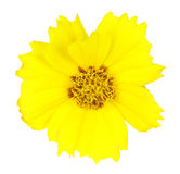 Isolated Yellow Flower Stock Photography