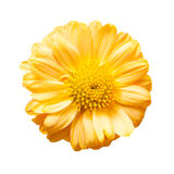 Isolated yellow flower Royalty Free Stock Photo