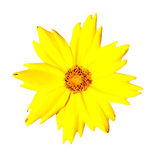 Isolated Yellow Flower - Coreopsis Pubescens Royalty Free Stock Photo