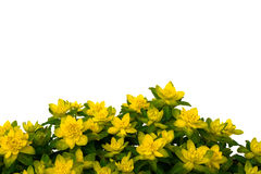 Isolated yellow flowers on white background. This photo is made near Moscow on May, 11 2008 Royalty Free Stock Photos