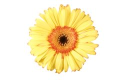 Isolated yellow gerbera daisy flower Royalty Free Stock Image