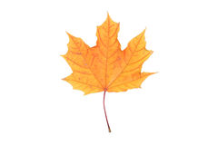 Isolated yellow leaf. Isolated white red yellow leaf bright maple Stock Photos
