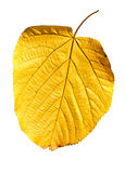 Isolated Yellow Leaf Royalty Free Stock Photo