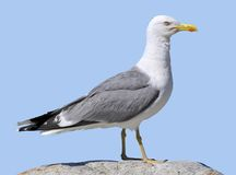 Isolated Yellow-legged Gull Stock Photography