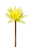 Isolated yellow lotus flower. An isolated yellow lotus flower in white background Stock Photo