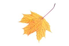 Isolated yellow maple  leaf. The isolated yellow maple leaf close up Royalty Free Stock Image