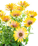 Isolated yellow Osteospermum flower blossoms Stock Image