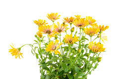 Isolated yellow Osteospermum flower blossoms Royalty Free Stock Images