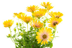 Isolated yellow Osteospermum flower blossoms Stock Images