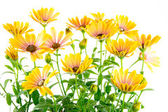 Isolated yellow Osteospermum flower blossoms Stock Photos