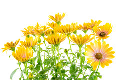 Isolated yellow Osteospermum flower blossoms Royalty Free Stock Photos
